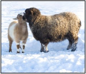 Cover photo for Ashe County Sheep and Goat Newsletter - February 2018