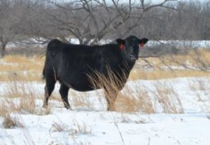 Cover photo for Ashe County Cattle Newsletter - March 2018