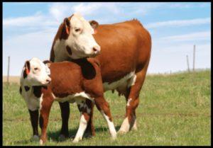 Cover photo for Ashe County Cattle Newsletter - September 2018