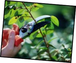 Cover photo for Pruning Like a Pro