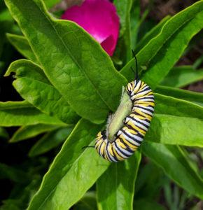Monarch caterpillar on butterfly milkweed.